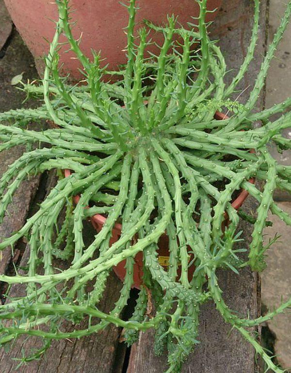 Bir Medusa Başı (Euphorbia flanaganii) Sukulent Nasıl Büyütülür ve Bakımı Nasıl Yapılır?
