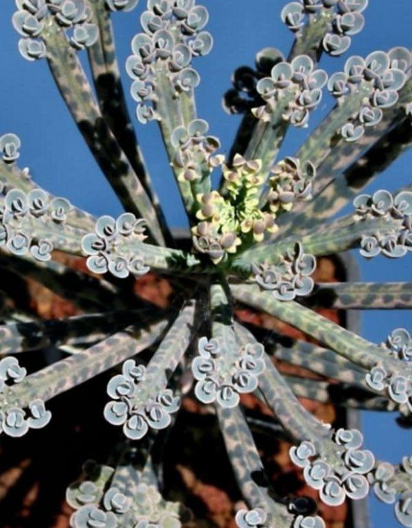Bir Avize Bitkisi (Kalanchoe delagoensis) Sukulent Nasıl Büyütülür ve Bakımı