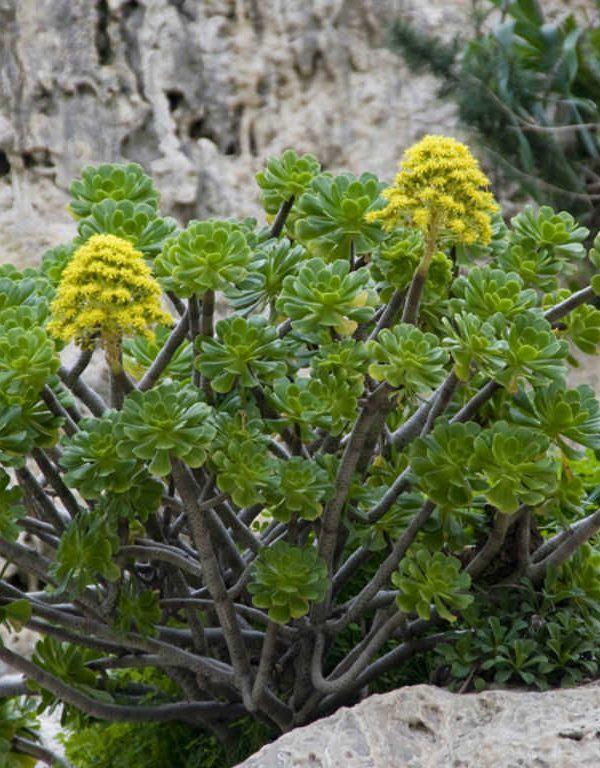 Bir Ağaç Aeonium (Aeonium arboreum) Sukulent Nasıl Büyütülür ve Bakımı