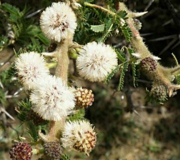 Vachellia abyssinica (Düz Üst Akasya)