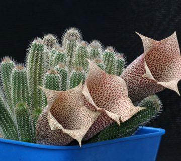 Tavaresia barklyi (Yüksük Çiçeği) Sukulent