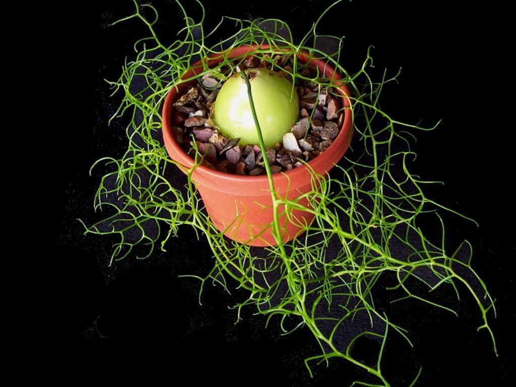 Tırmanan Soğan (Bowiea volubilis) Sukulent Nasıl Yetiştirilir ve Bakımı