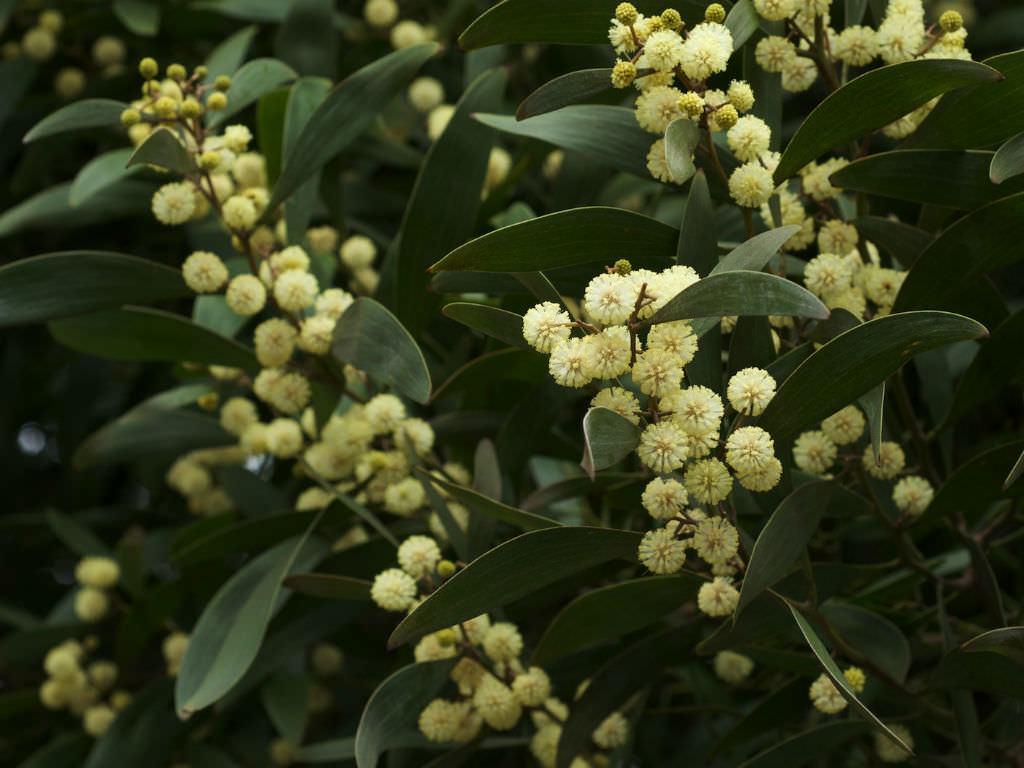 Akasya melanoxylon (Avustralya Blackwood)