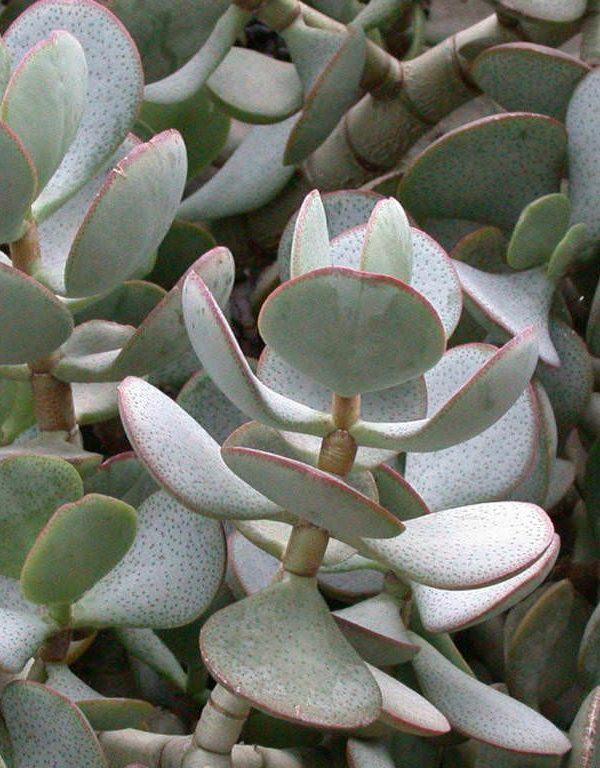 Crassula arborescens (Gümüş Dolar Bitki) Etli