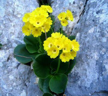 Primrose Çiçeği (Auricula Primrose)