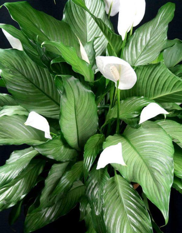 Barış Zambakları Nasıl Büyür ve Bakımı (Spathiphyllum)