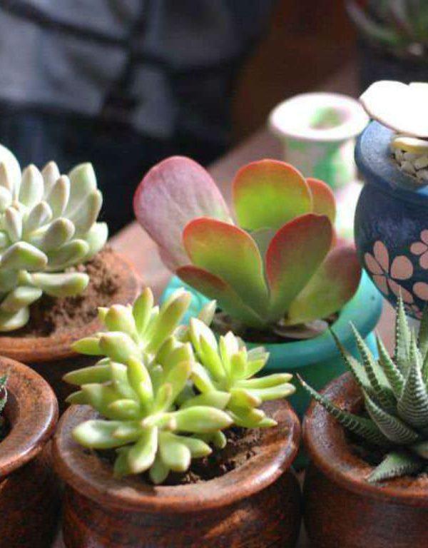 Succulents Sukulent Nasıl Yetiştirileceğine Dair Kolay İpuçları