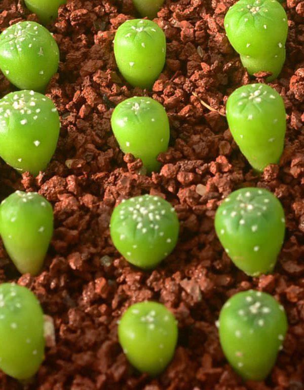 Tohumlardan Büyüyen Kaktüsler Sukulent