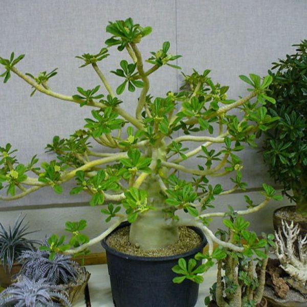 Dorstenia gigas (Socotran İncir Ağacı) Sukulent
