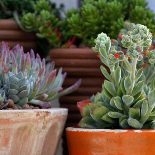 Succulents Sukulent Hakkında Bilmeniz Gereken Her Şey