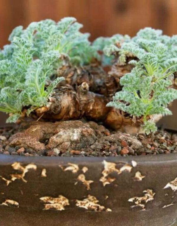 Pelargonium Sukulent Nasıl Büyür ve Bakımı
