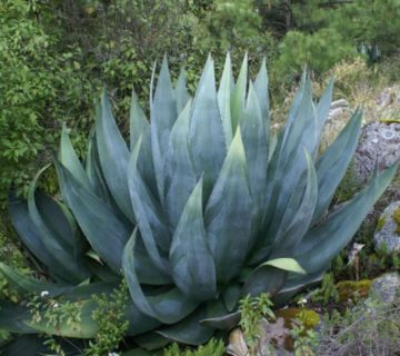 Agave atrovirens (Pulque Agave) Sukulent