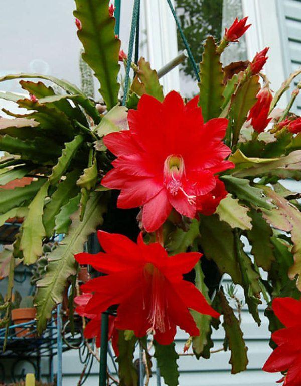 Disocactus ackermannii (kırmızı orkide kaktüsü) Sukulent