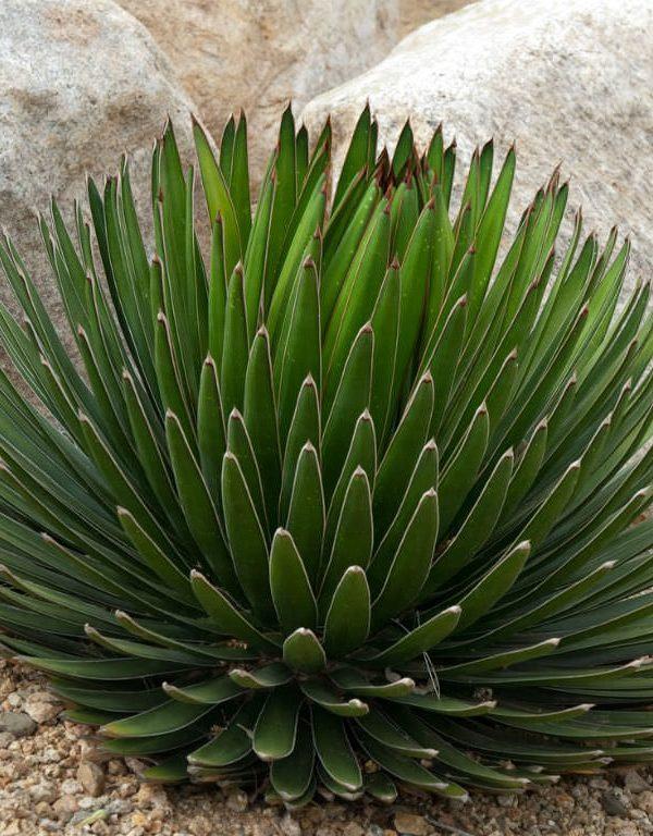 Agave ocahui (Ocahui Yüzyıl Bitki) Sukulent