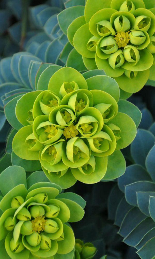 Euphorbia myrsinites (Myrtle Spurge) Sukulent