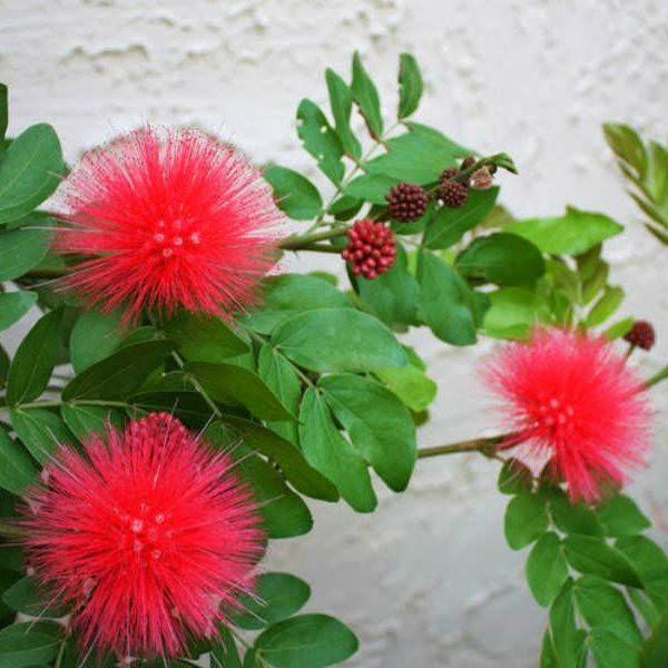 Calliandra haematocephala (Kırmızı Toz Puf)
