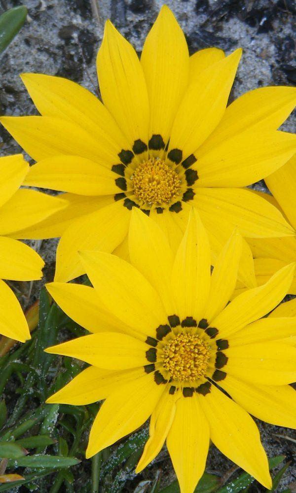 Gazania linearis (Hazine Çiçeği)
