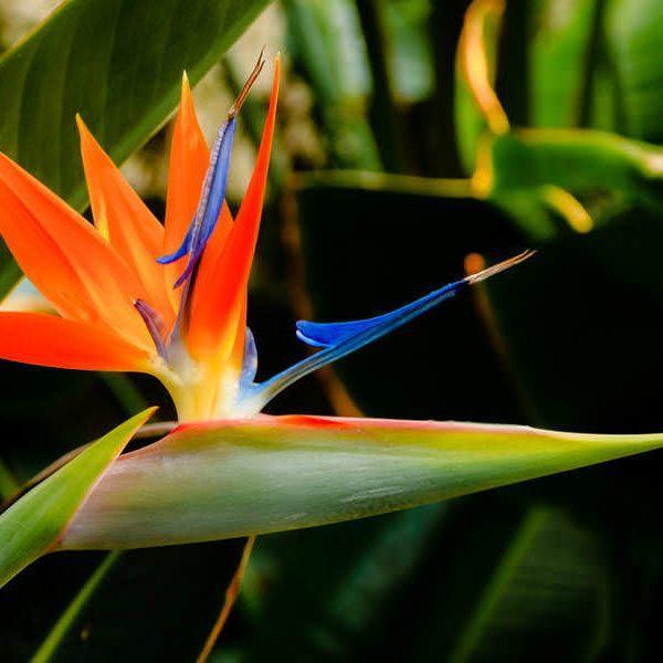STERLİÇYA reginae (Cennet Kuşu Çiçeği)