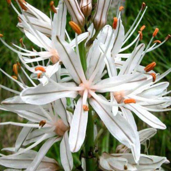 Asphodelus albus (Beyaz Asphodel)
