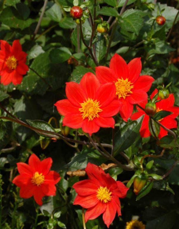 Dahlia coccinea (Kırmızı Dahlia)