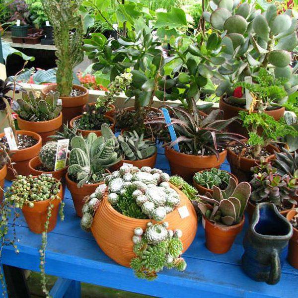 Houseplants Sukulent olarak Kaktüsler ve Sulu Meyveler