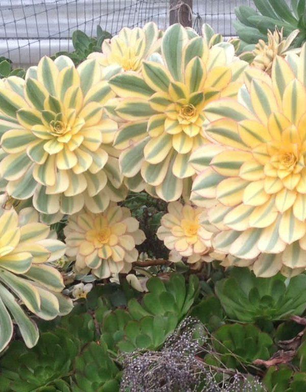Aeonium Sukulent için Nasıl Büyüme ve Bakım Yapılır