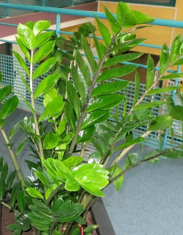 Zamioculcas zamiifolia (ZZ Bitki) Etli
