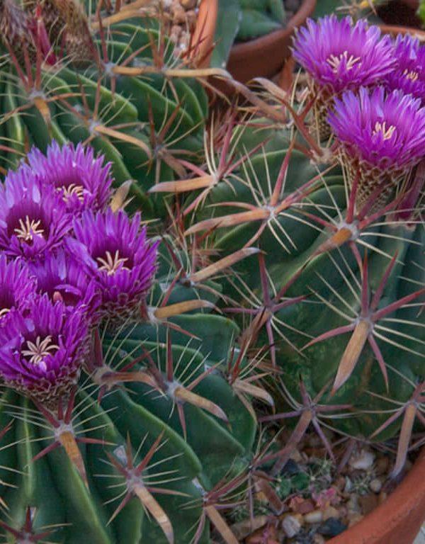 Ferocactus Sukulent Nasıl Büyür ve Bakımı