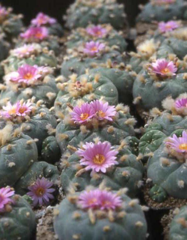 Lophophora Sukulent için Nasıl Büyüme ve Bakım Yapılır