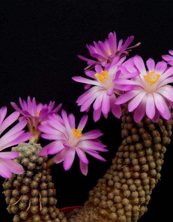 Mammillaria theresae Sukulent