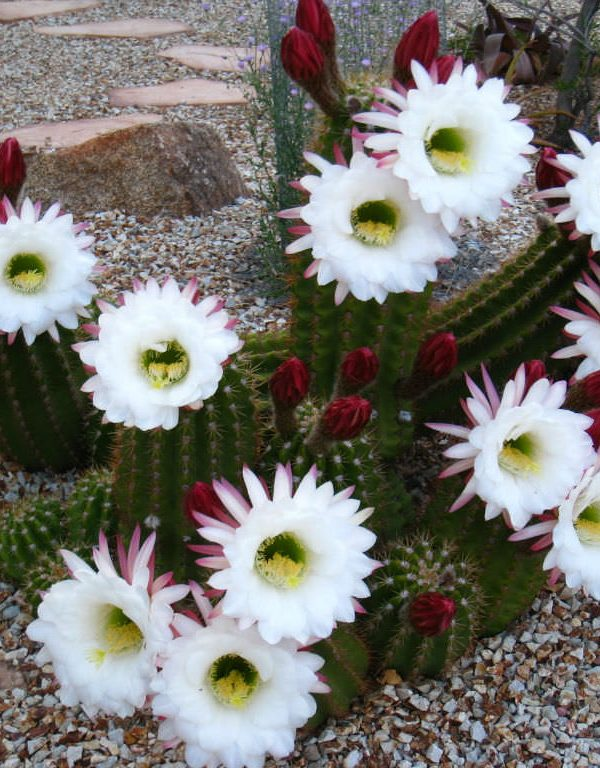 Echinopsis parlak beyaz (Arjantin Devi) Sukulent