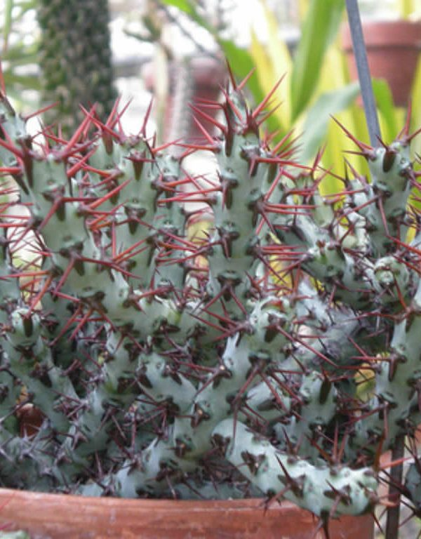 Euphorbia aeruginosa (Minyatür Saguaro) Sukulent