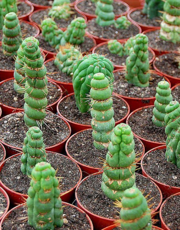 Eulychnia Sukulent için Nasıl Büyüme ve Bakım Yapılır