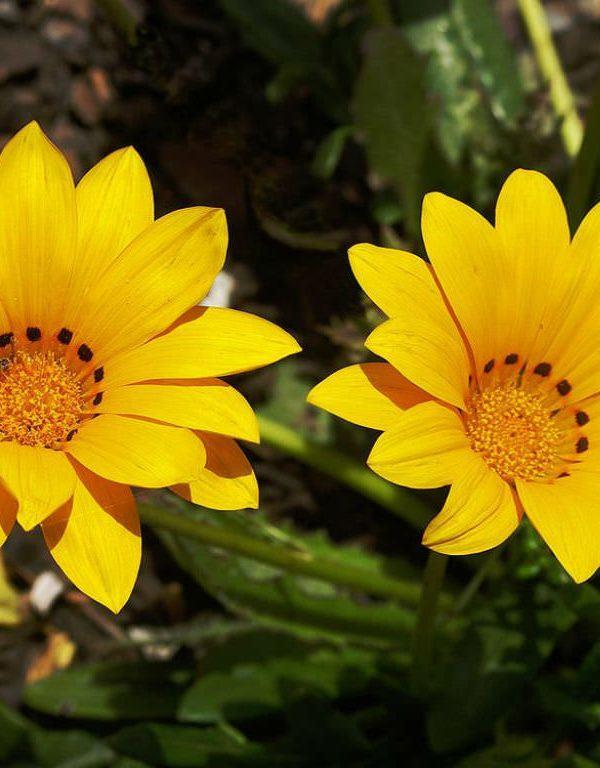 Gazania rigens (Hazine Çiçeği)