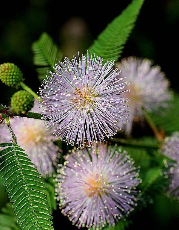 Mimosa pudica (Hassas Bitki)
