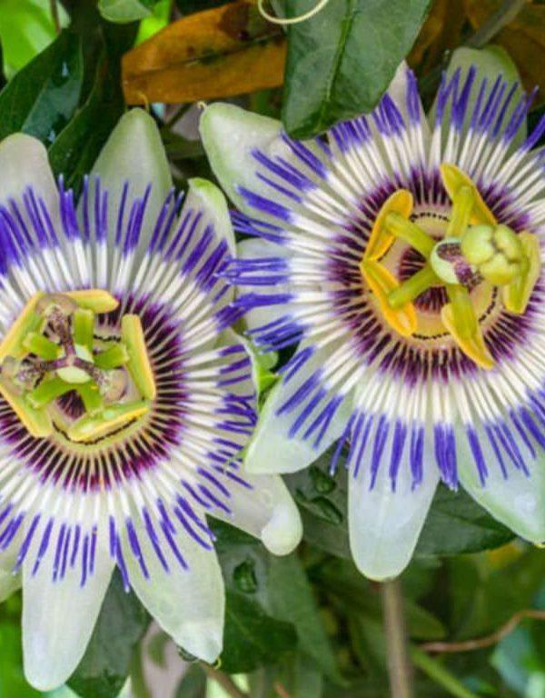 Passiflora caerulea (Mavi Tutku Çiçeği)