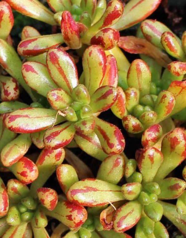 Aeonium sedifolium (Cüce Aeonium) Sukulent