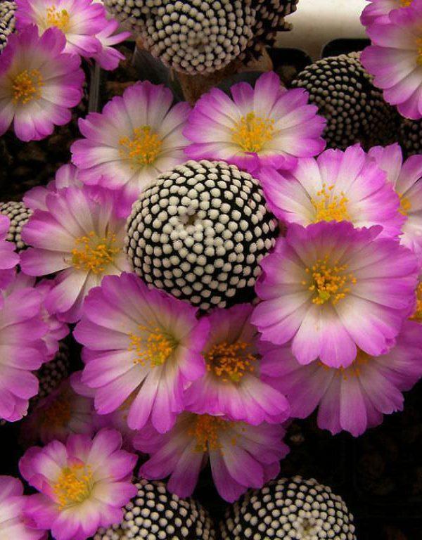 Mammillaria luethyi Sukulent