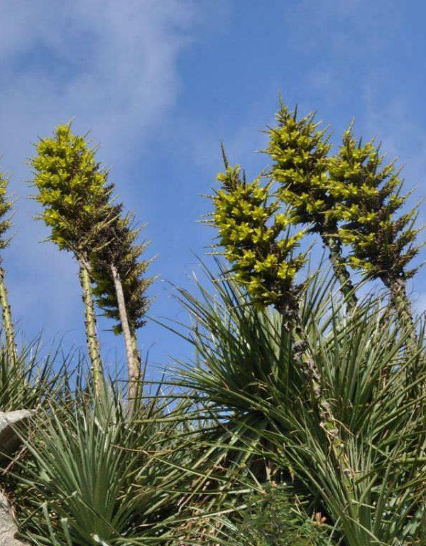 Puya chilensis (Koyun Yeme Bitki)