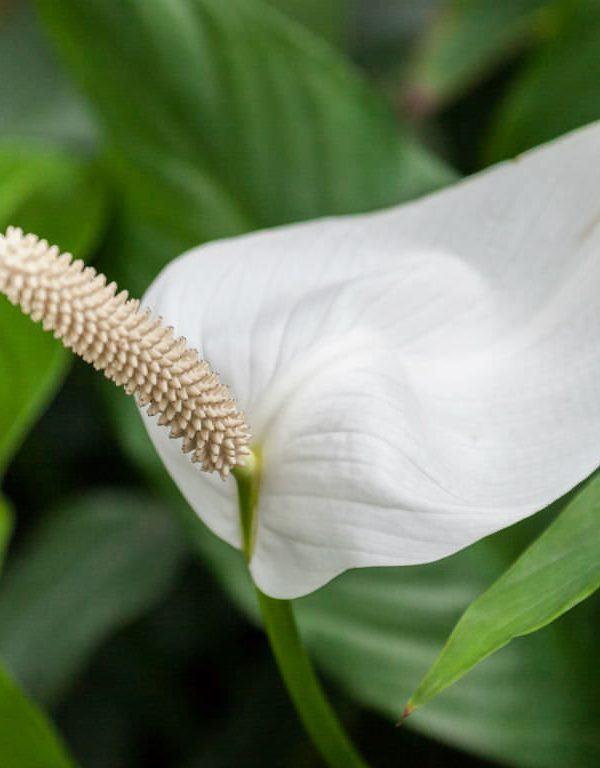 Spathiphyllum cochlearispathum (Cupido Barış Zambağı)