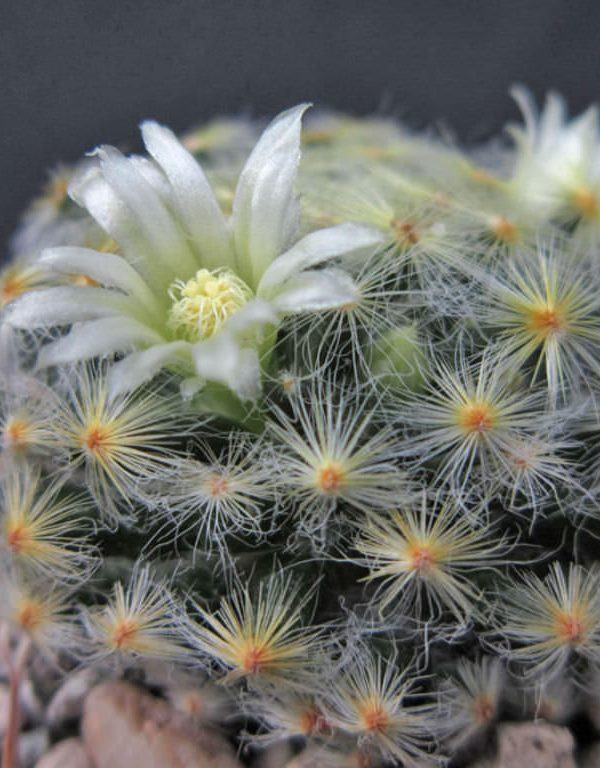 Mammillaria schiedeana Sukulent
