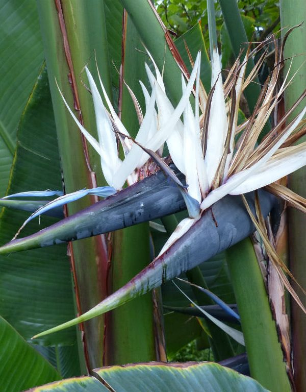 STERLİÇYA alba (Beyaz Cennet Kuşu)
