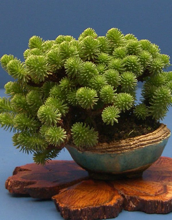 Hydra, sedum (Minyatür Joshua Tree) Sukulent