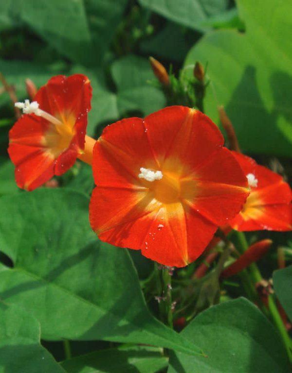 Ipomoea rubriflora (Kırmızı Sabah Zaferi)
