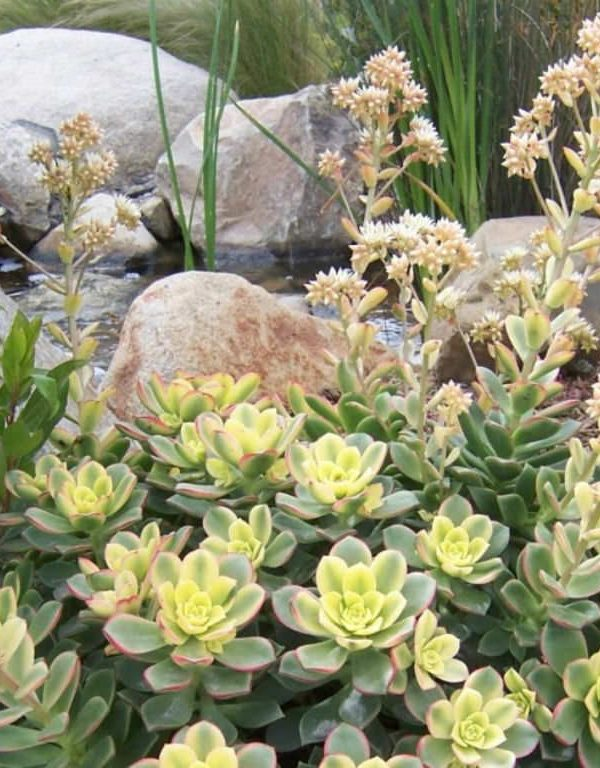 Aeonium 'Kiwi' (Kiwi Aeonium)