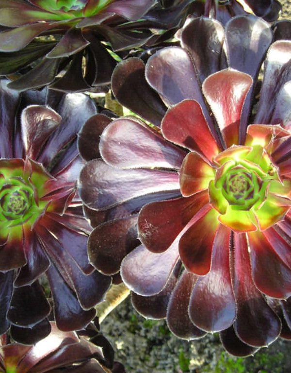 Aeonium arboreum 'Siyah Baş' (Siyah Gül) Etli