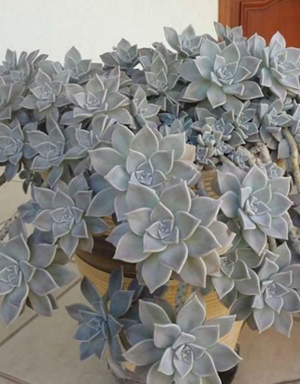 Graptopetalum paraguayense (Hayalet Bitki) Etli