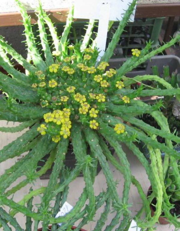 Euphorbia flanaganii (Medusa'nın Başı) Sukulent