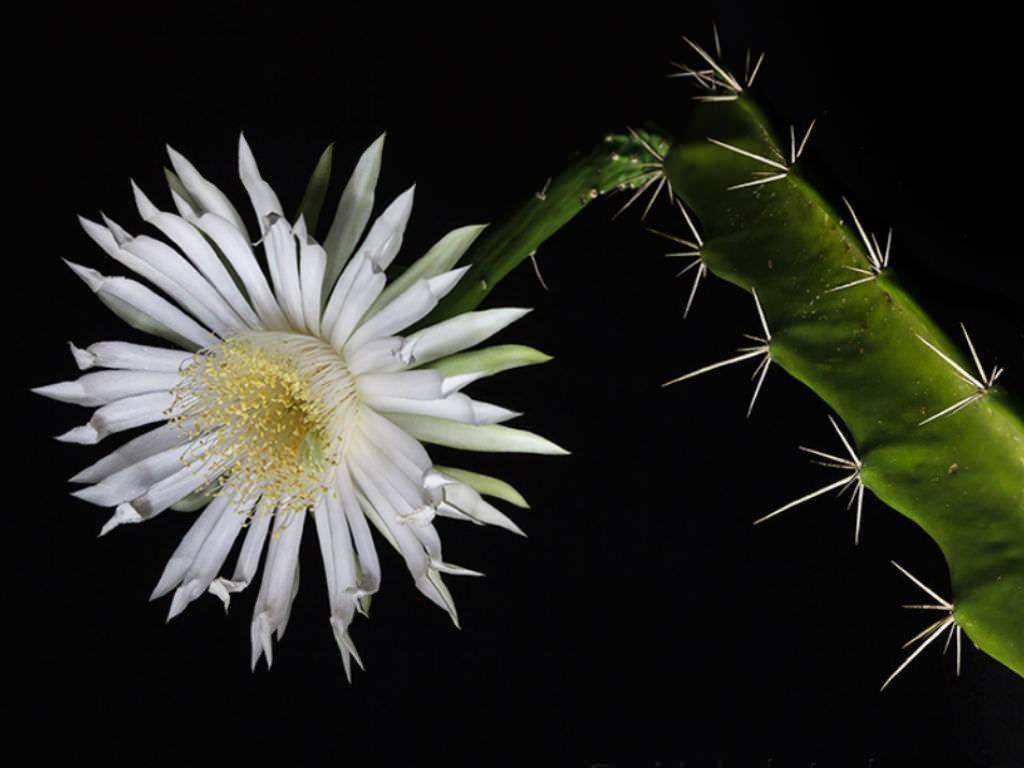 Acanthocereus tetragonus (Üçgen Kaktüs) Sukulent