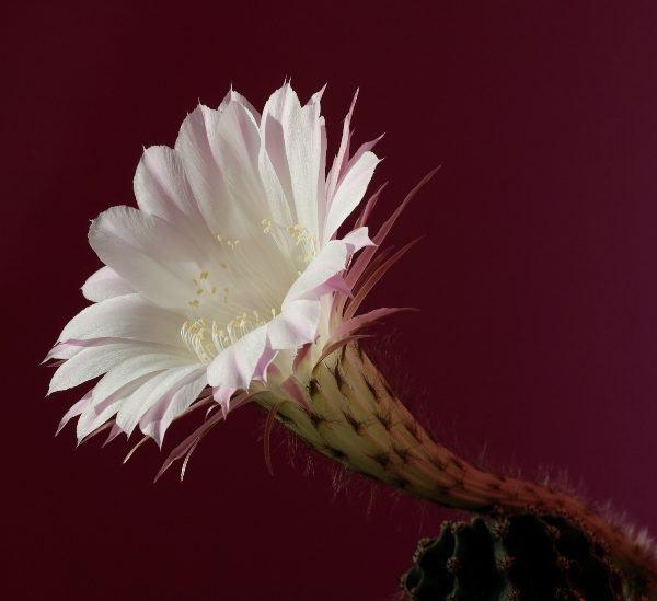 Bir Kaktüs Çiçeği Ne Sıklıkta Çiçek Açar?
